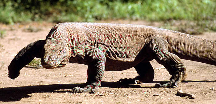 Image result for lagarto de komodo
